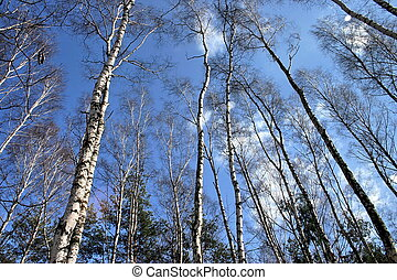 Birches - Autumn Birches forrest with the blue cloudy sky