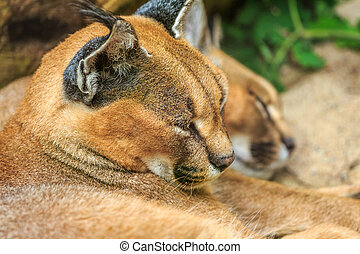 Caracal Wild Cats lying on the ground and sleeping.