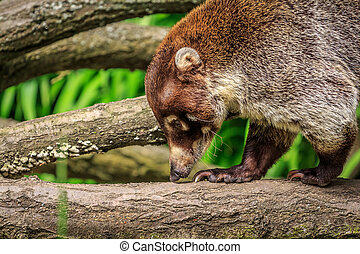 Coati walking along a branch and smelling the wood.