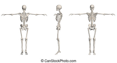 Human Skeleton - male back, front,end right made in 3d...