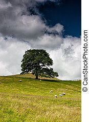 On the pasture in Sedbergh - Sheep on the pasture in...