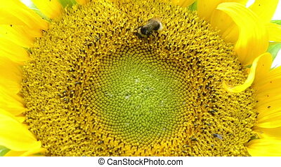 sunflower bloom bumblebee