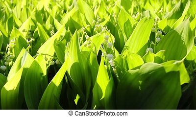 lilies of the valley, shooting slid
