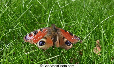 Dead peacock butterfly on the grass - Close up of dead...