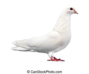 white dove sits isolated on a white background