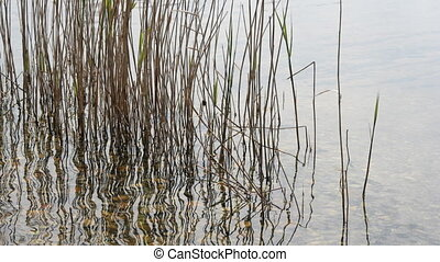 reeds moving in river water