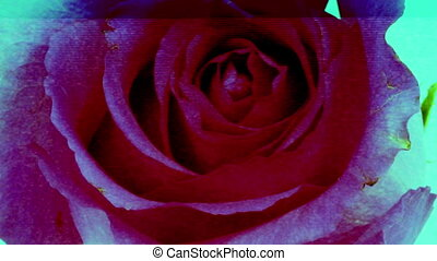 a timelapse of a growing rose, with a dirty scatch grunge...