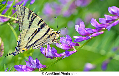 Swallowtail Butterfly shoot in spring time