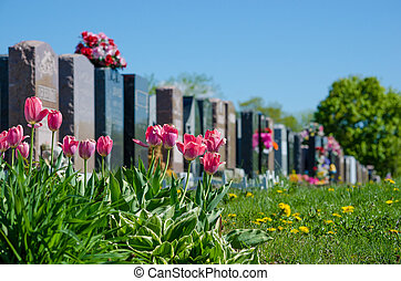 Aligned headstones in a cemetary with pink tulips in the...