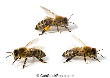 Three bees in front of white background - Bees isolated in...