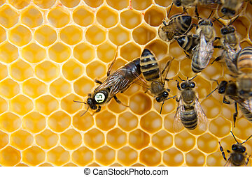 Queen bee in bee hive laying eggs - Queen bee in a beehive...