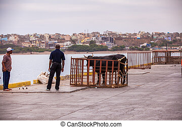 harbor - two men with a caged bull at the harbor
