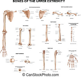 Bones of the upper extremity: Clavicle collar bone, scapula...