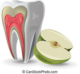 Structure Of Tooth With Apple vector