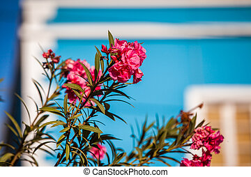 oleander - pink oleander blossoms in front of a blue facade