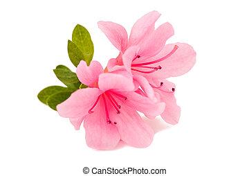 azalea flower on the white isolate background