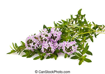 savory flowers - Savory fresh herb isolated on white...