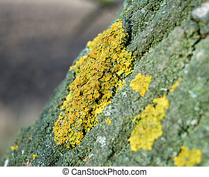 tree crust - yellow moss on dark green bark
