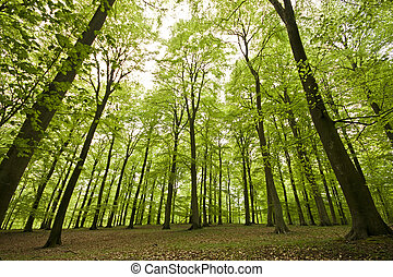 Tall Beech Spring Forest - It was the perfect overcast...