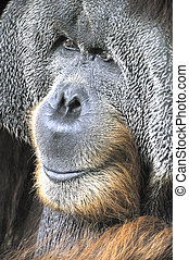 Great Ape - Potrait of An Adult Orang Utan