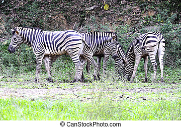 Burchell Zebras - A family of Burchell Zebra grazing grass