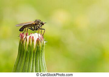 moustique, pissenlit