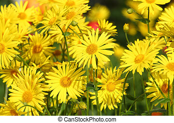 Marguerite - A bunch of yellow marguerite in the sun
