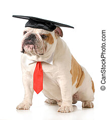 pet graduation - english bulldog wearing graduation cap and...