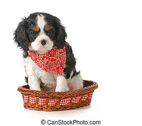 spaniel puppy - puppy - cavalier king charles spaniel puppy...