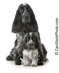 dog mother and puppy - english cocker spaniel mother and...