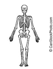 human skeleton - outline human skeleton on white background