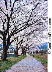 sakura walkway - sakura path at kawaguchi lake, japan