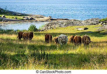 Cows in a landscape - Meadow with cows in a coastal...