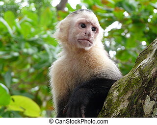 White-faced capuchin monkey, national park of Cahuita,...