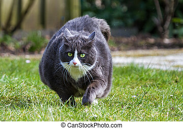 Obese run - Obese pussy cat on the move in the garden in...