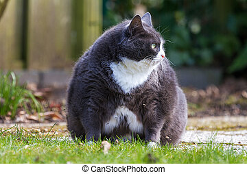 Chubby cat - Obese pussy cat sits in the garden and looks at...
