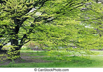 Hornbeam tree at spring - Fresh Hornbeam tree sprouting at...