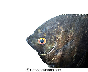Scalars black - aquarium fish isolated on white background...