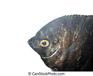 Scalars black - Scalars black - aquarium fish isolated on...