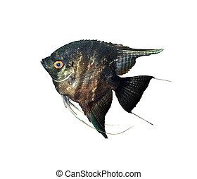 Scalar - A general view of aquarium fish angelfish black on...