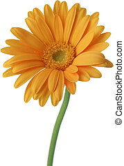 Yellow gerbera on a white background