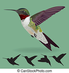 humming bird vector - realistic humming bird vector isolate...