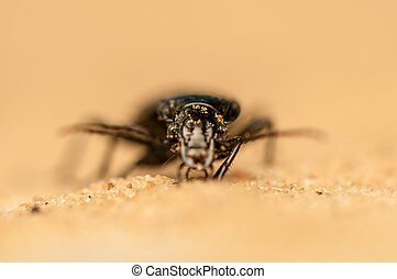 Pterostichus niger