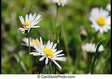 daisies moving in the wind