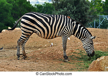 zebra feeding on grass - Zebra feeding on grass. Wild animal...