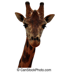 baringo giraffe animal head - Baringo giraffe animal head on...