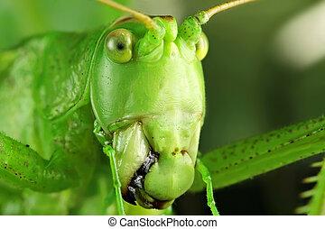 Grasshopper's, mouth