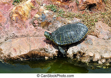 red-eared slider turtle - Red-eared slider turtle by the...