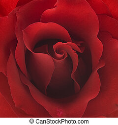red rose closeup background