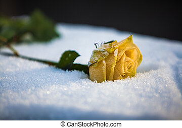 rose - yellow rose lying in the snow